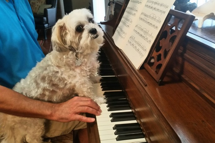 close up of dog at piano